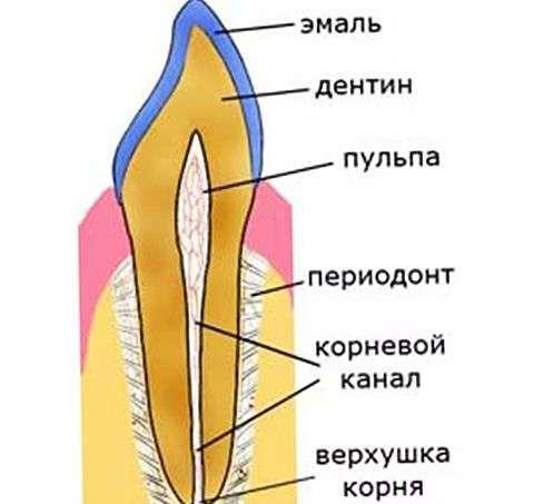 схема зуба